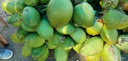 A Grade Solid Fresh Green Coconut, Packaging Size: 9000 kg, Coconut Size: Large