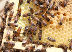 Honey Bee  Service