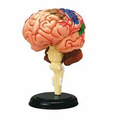 Human Brain Models