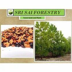 Acacia Mangium Seeds