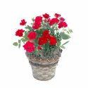 Cut Flowers And Dutch Plants