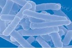 lactobacillus acidophilus probiotics traders, wholesalers and buyers, Skeleton