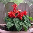 Salvia Plant