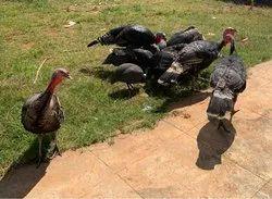 Turky Bird