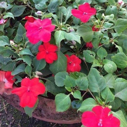 Impatiens Flower Plant