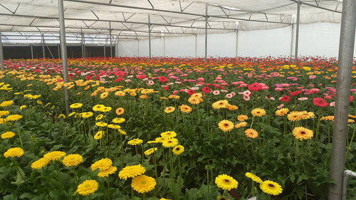 Gerbera Tissue Culture Plants At Rs 32 Number Gerbera Daisy Plant Id 12857972348