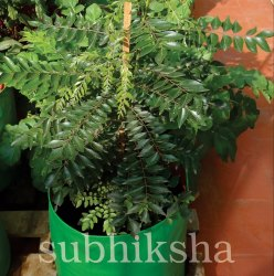 Curry Leaves Plant in Grow Bags