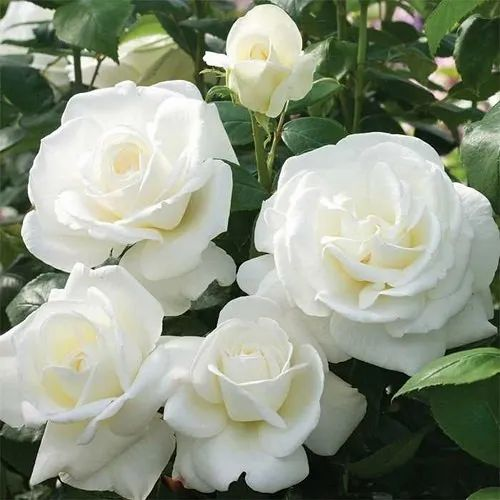 Well Watered Rosa White Rose Live Plant, Packaging Type: Box, Spring, Rs 20  /piece | ID: 22356318030