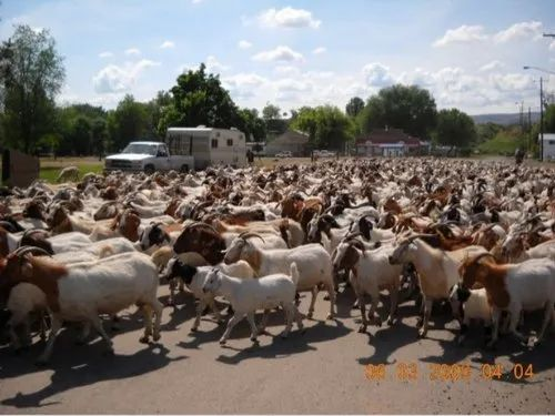 Pet Goats Meat Center - Wholesaler of Pet Goats & Fresh Goat