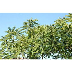 Ailanthus Excelsa Tree