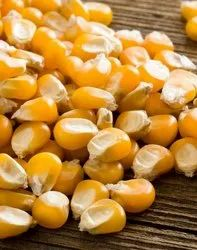 Natural Popcorn Seeds, For Food Processing, Packaging Type: Bag