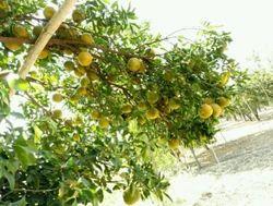 Plantonics Citrus Special