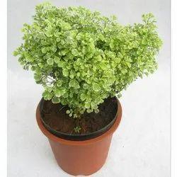 Decorative Aralia Plant