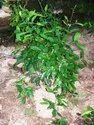 Salacia Reticulata Root