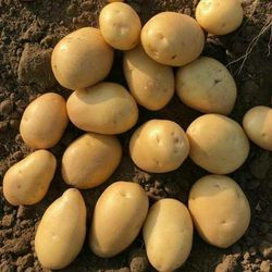 Organic Potato, Pesticide Free (for Raw Products)
