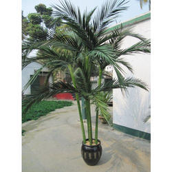 Preserved Areca Palm Trees