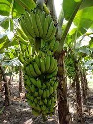 A Grade G9 Banana, Packaging Type: Carton, Packaging Size: 10 Kg