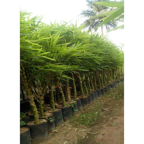 Swell Buddha Belly Bamboo Plant Interior Design Ideas Oteneahmetsinanyavuzinfo