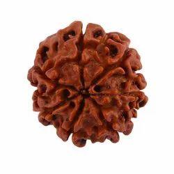 SSGJ 100% Natural Lab Tested 7 Mukhi Rudraksha Shree Shyam Gems And Jewellery