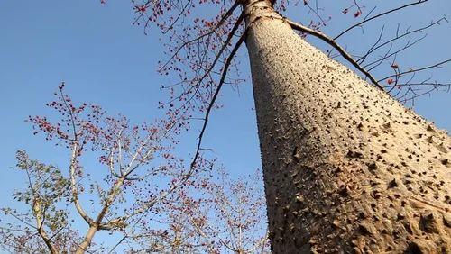 Bombax Ceiba (Semal Tree, Red Kapok, Red Silk Cotton)