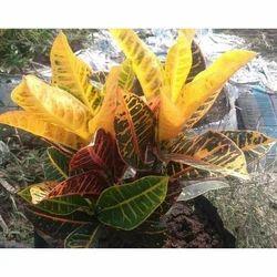 Crayon Petra Plant