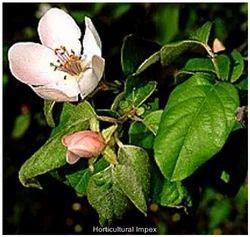 Cydonia Oblonga Tree Seeds