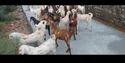 Eid Male Goats