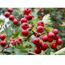 Hawthorn Extracts