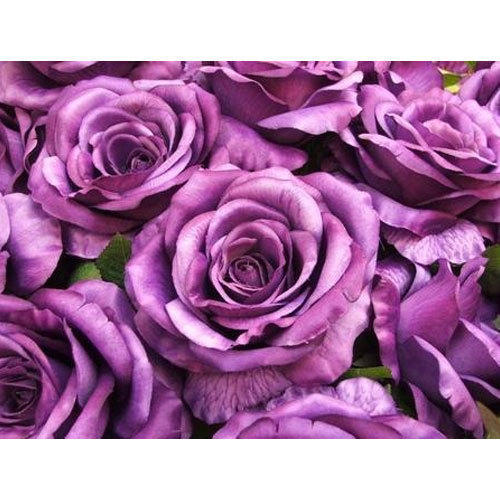 Vinyl Purple Rose Wallpaper