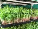 Hydroponic Grow Tray