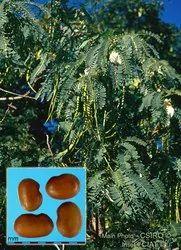 Natural Agathi/Agase Seeds, Packaging Type: Bag, 1kg