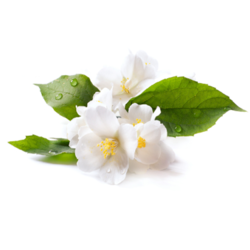 Jasmine Oil Sambac