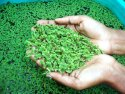 Ajola Grass Seed