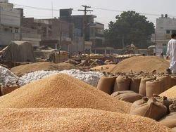 Yellow Maize Seeds, For Human And Animal