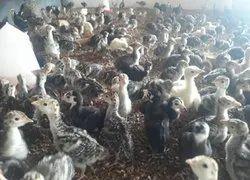 Vaan Kozhi Farm