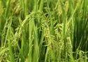 Krh 4 Hybrid Rice