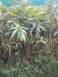 Mango Plant In Chennai Latest Price Amp Mandi Rates From