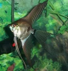Black Ghost Angel Fish, Size: 5 Inch