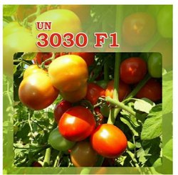 A Grade Hybrid Tomato Seed UN 3030 F1, Packaging Type Available: Plastic Bag, Packaging Size Available: 10 grams