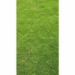 American Blue Grass