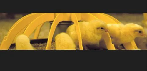 Poultry Feeding Systems | Belt Battery Cages | Polaris