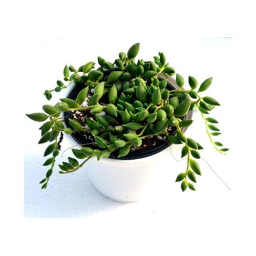 Beads Succulent Plant