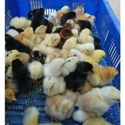 Natu Kodi Chicks
