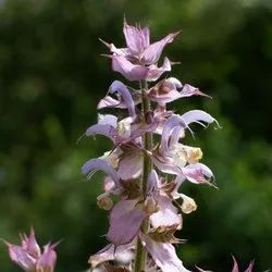 Clary Sage Essential Oil Russia
