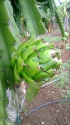 Pitaya Fruit Plant
