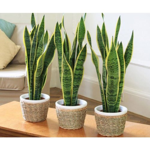 Decorative Plants For Indoor Rs 70 Piece Star Line Solutions