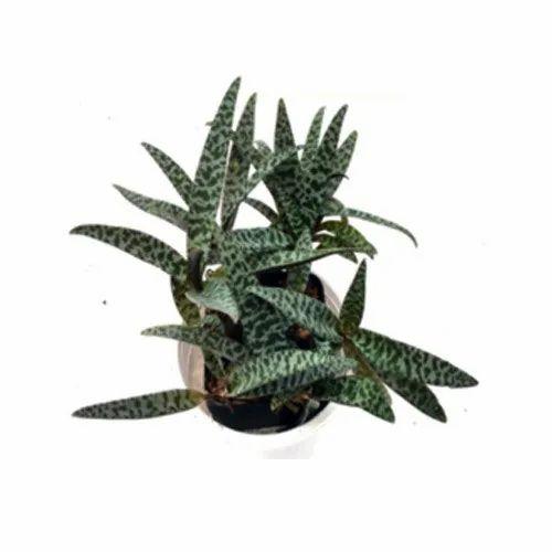 Ledebouria Socialis Succulent Plant