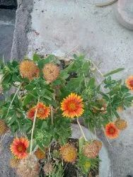 Non brand Natural Gaillardia flower seeds (mixed seed), Packaging Type: Packet, Packaging Size: 30g