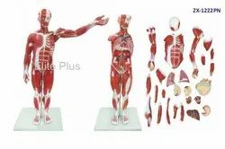 ZX-1222PN Muscular Human Body 78 cm, 27 Parts
