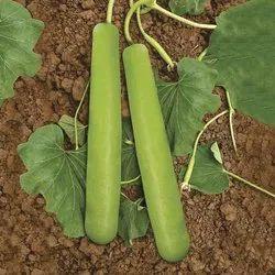 Neelam Hybrid Bottle Gourd Seeds, Packaging Size: 50GM